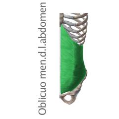 Músculo Oblicuo Menor del Abdomen