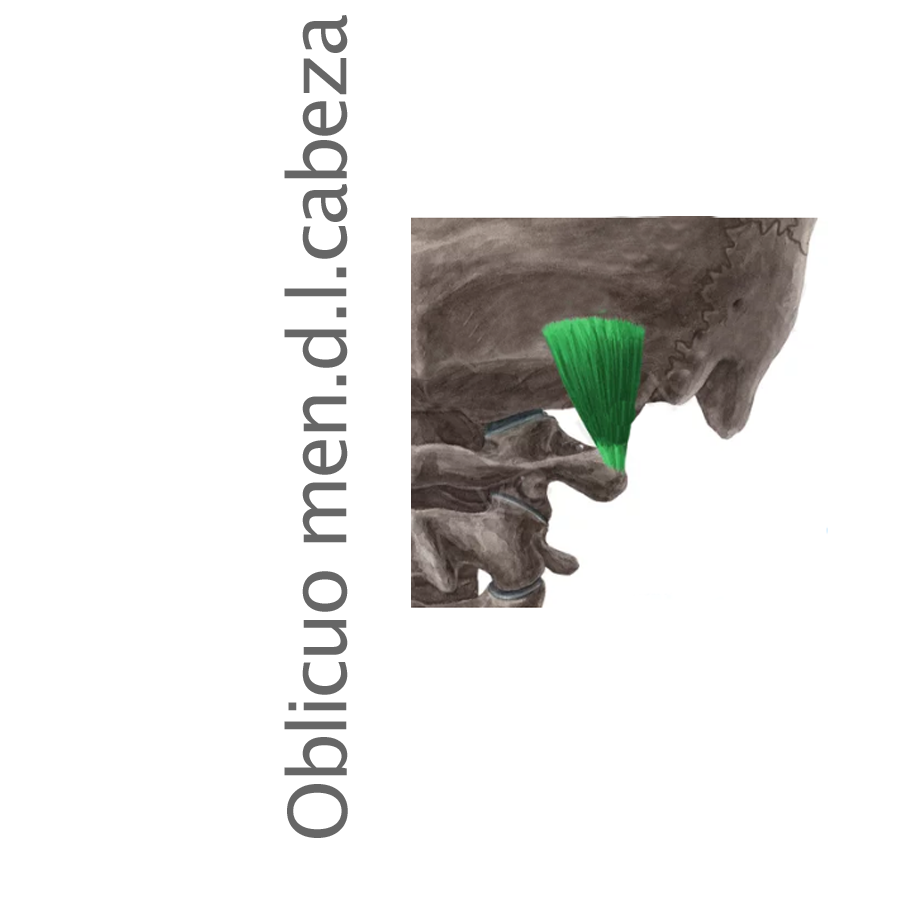 Músculo Oblicuo Menor de la Cabeza