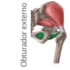 Músculo Obturador Externo