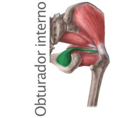 Músculo Obturador Interno