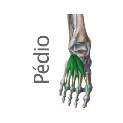 Músculo Pedio o Extensor corto de los dedos