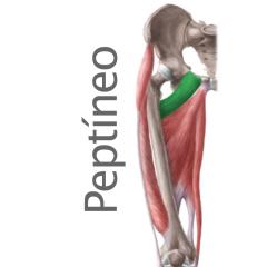 Músculo Peptíneo