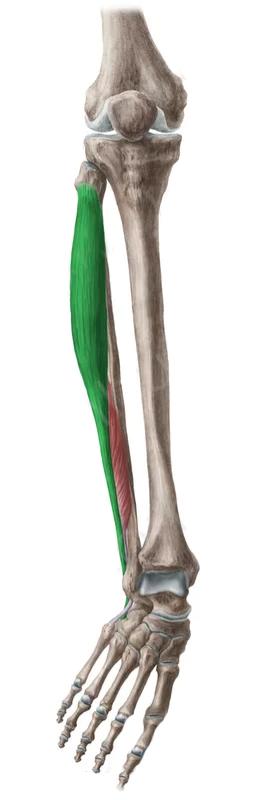 Vista 2 Peroneo lateral largo