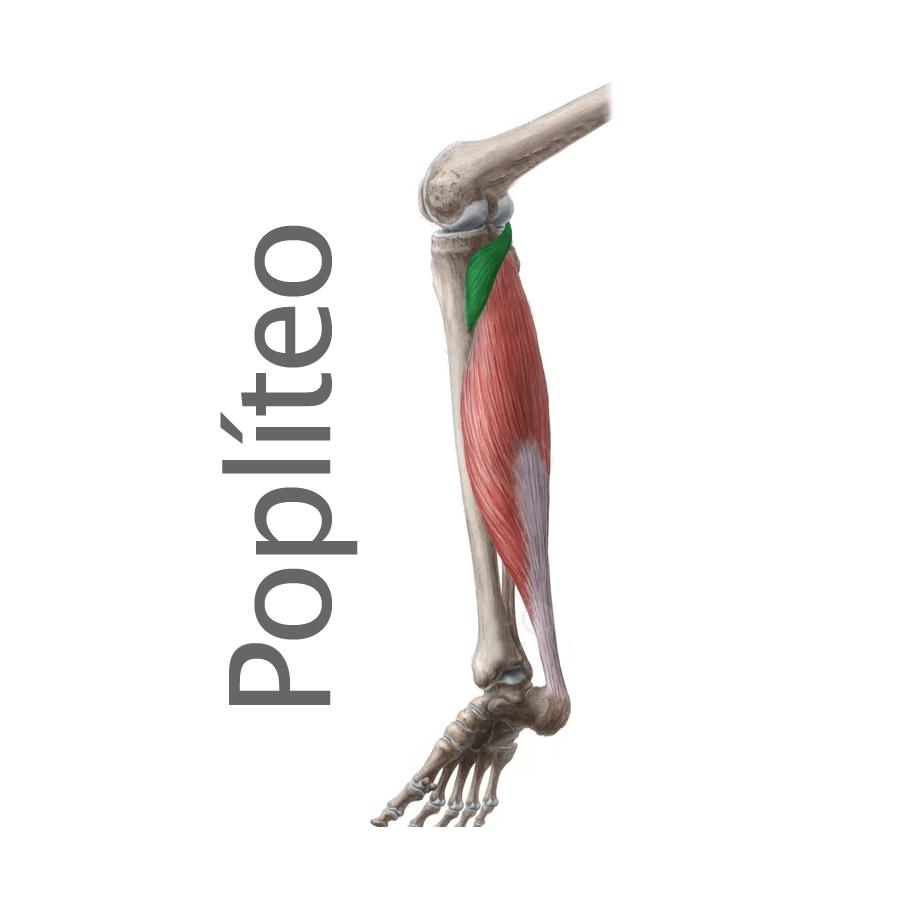 Músculo: Popliteo