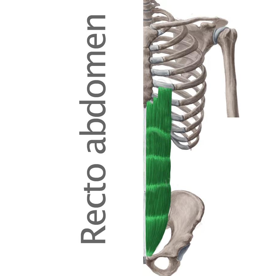 Músculo Recto del Abdomen