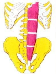 Vista 1 Recto mayor del abdomen