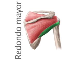 Músculo Redondo menor