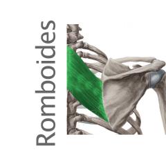 Músculo Romboides menor y mayor
