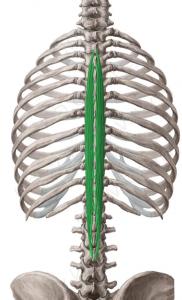 semiespinoso-dorsal