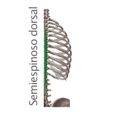 Músculo Semiespinoso Dorsal