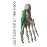 Músculo separador del primer dedo
