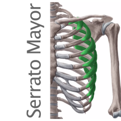 Músculo Serrato Mayor