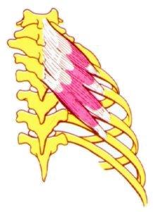 Serratos dorsales superiores