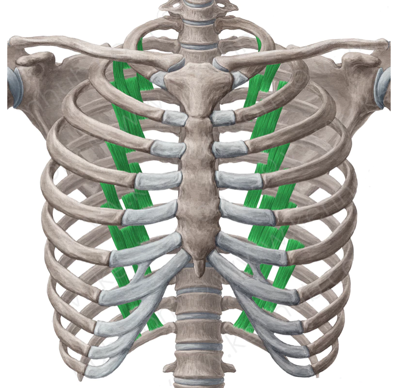 Vista 1 Músculos subcostales