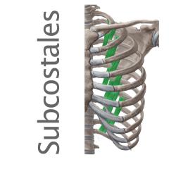 Músculos subcostales