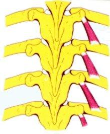 Vista 1 Músculos Supracostales