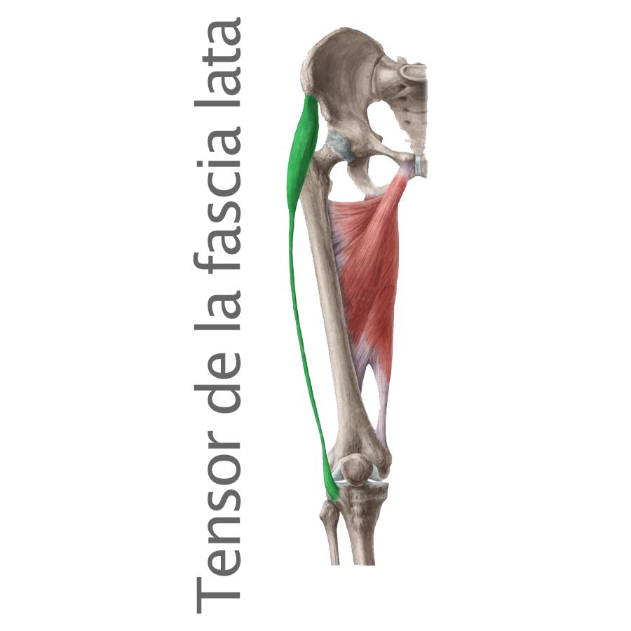 Músculo Tensor de la Fáscia lata