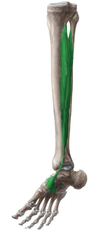 Vista 2 Tibial posterior