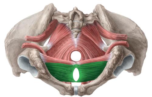 transverso-profundo-perine