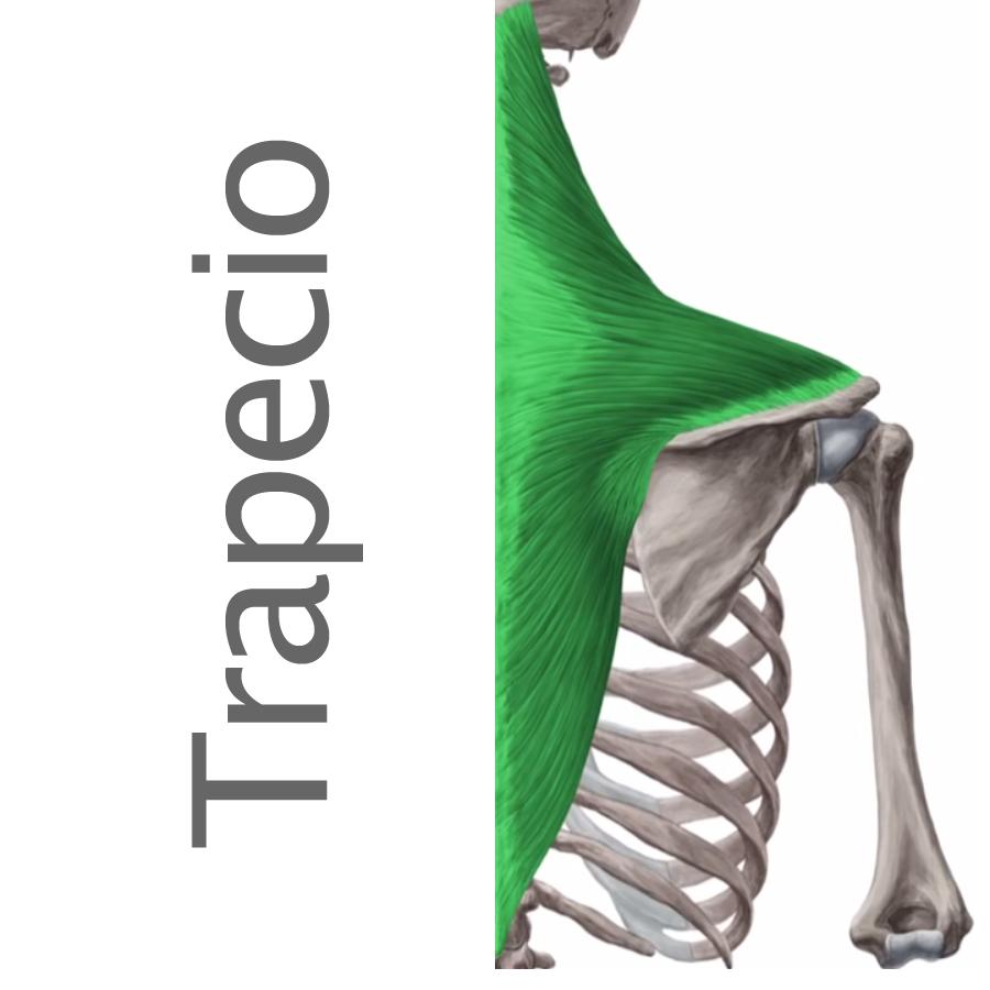 Cintura Escapular archivos - Músculos.org: Guía anatómica de los ...