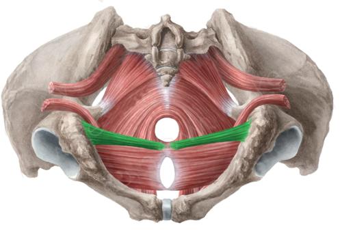 Vista 1 Trasverso profundo del periné
