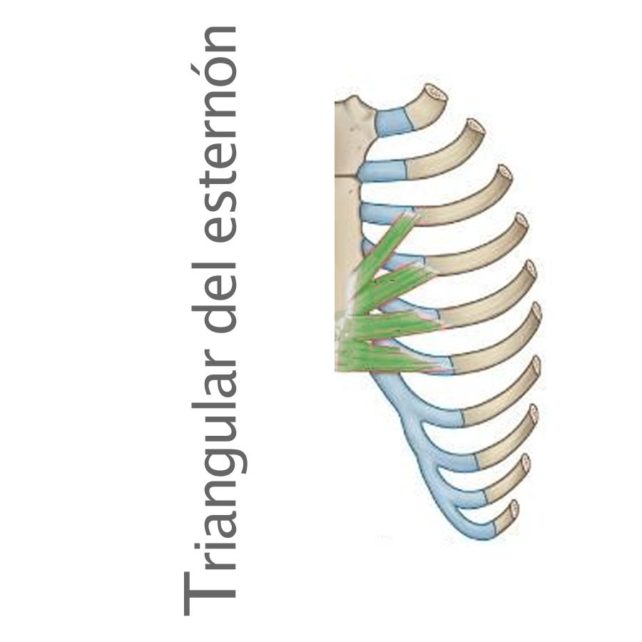 Músculo triangular del esternón