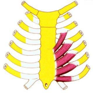 Vista 1 Músculo triangular del esternón