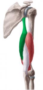 triceps-braquial-larga