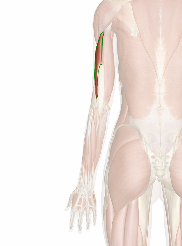 triceps-braquial-lateral-3