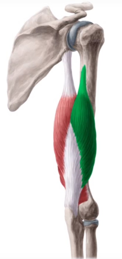 triceps-braquial-lateral