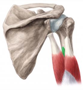 triceps-braquial-media