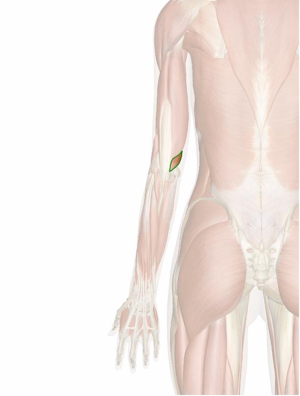 triceps-braquial-media-3