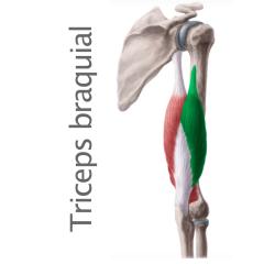Músculo Triceps Braquial
