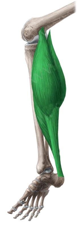 Vista 2 Triceps Sural