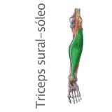 Músculo tríceps sural o sóleo