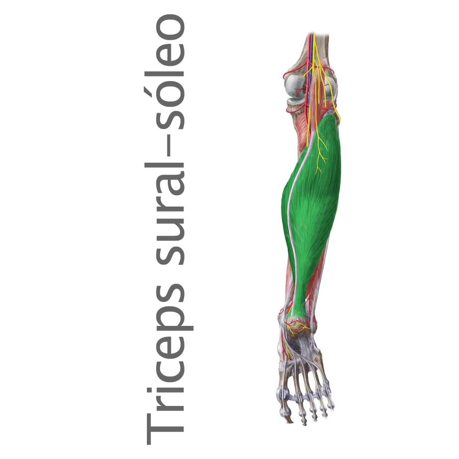 pie archivos - Músculos.org: Guía anatómica de los músculos del cuerpo.